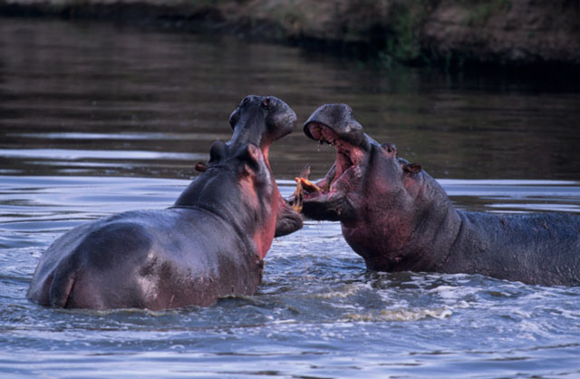 Scary hungry, hungry hippos