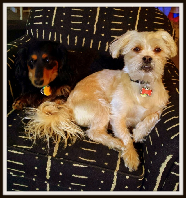 My boys:  Mick Jagger,the long haired, rock star dachshund, and his brother from another mother, Little Richard
